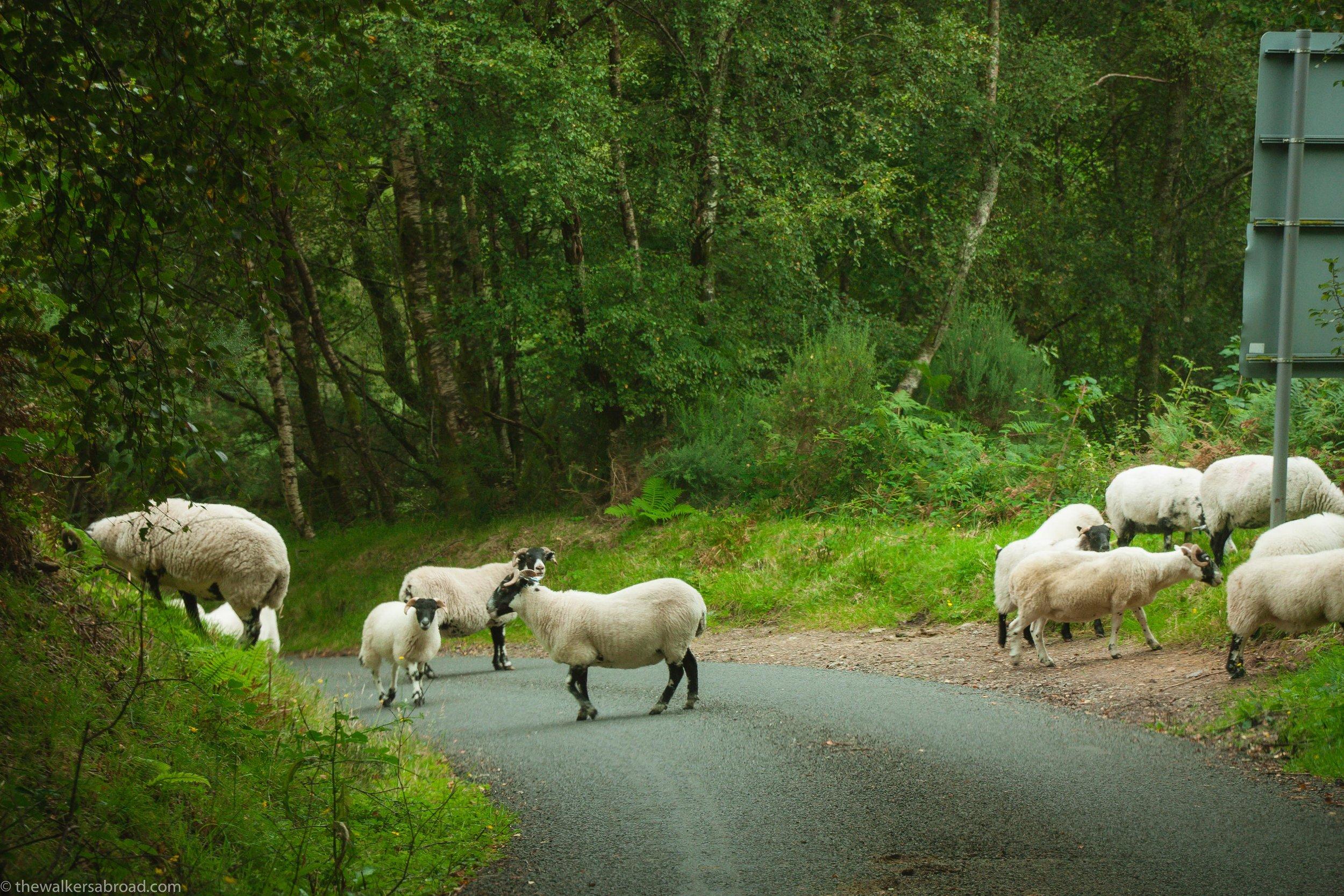 Scottish sheep.