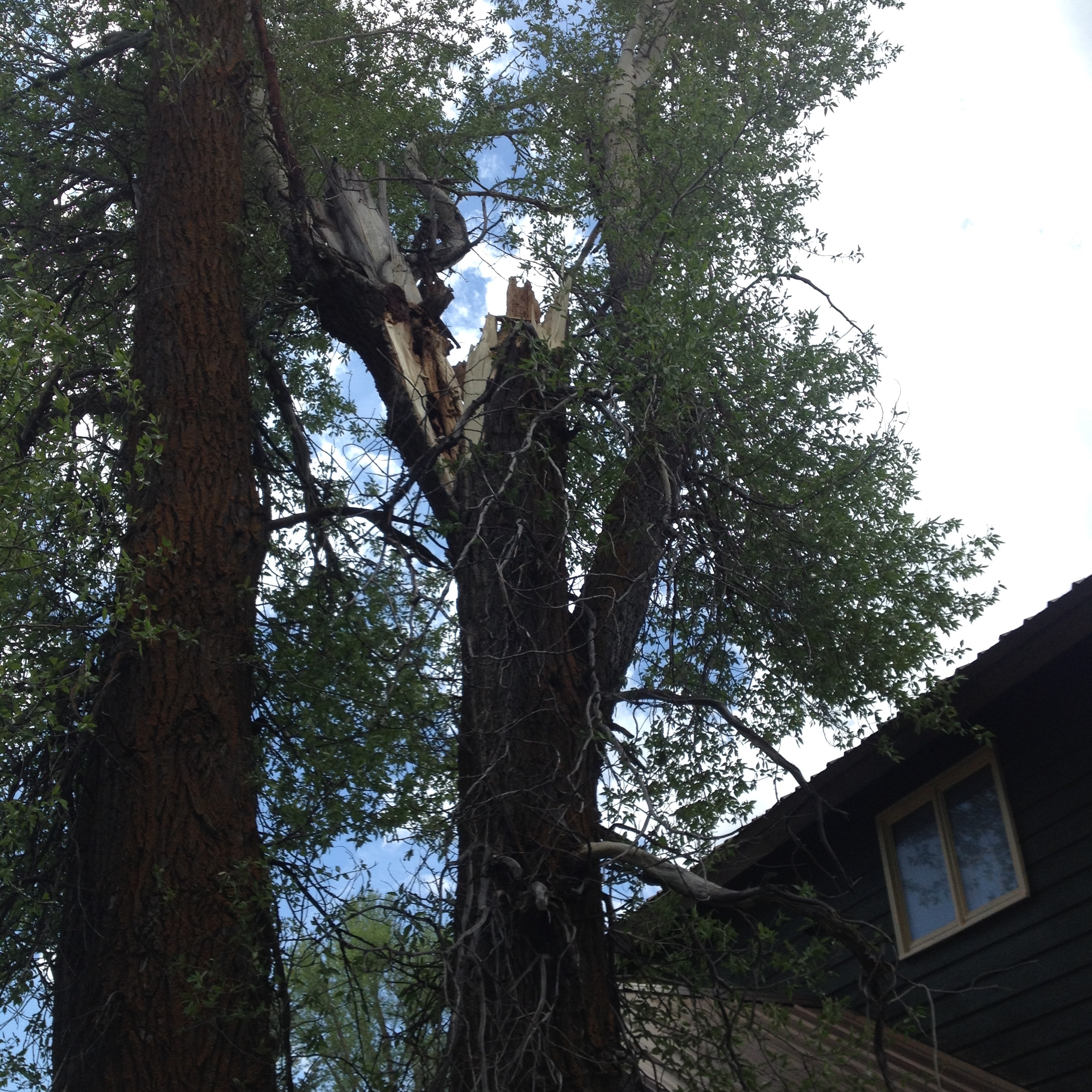 Large Cottonwood Stem Failure