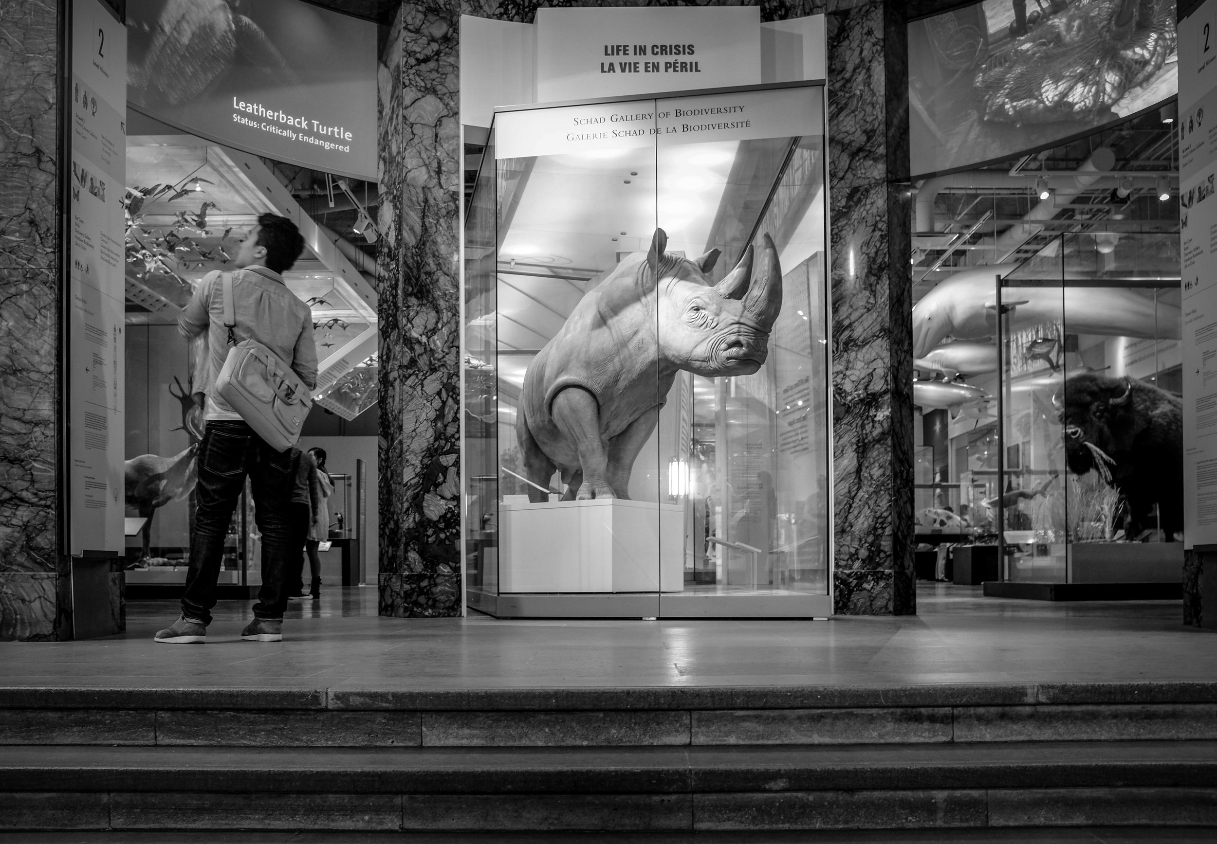 What caught my eye in this image at the Royal Ontario Museum located in Toronto, Canada, was the rhino behind glass as if it's guarding this gallery, but somehow being held back. Fujifilm X100S, 1/8 @f4.0, ISO 800.
