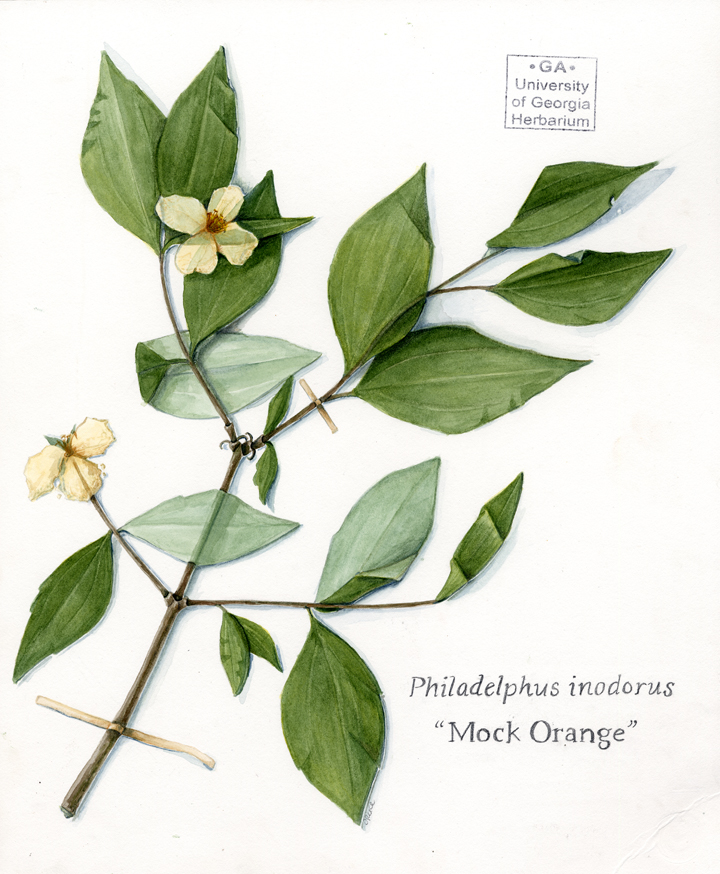 Philadelphus inodorus  by Courtney Khail  Using a preserved horticulture specimen, I painted this in watercolors by hand. I mixed each color to match the exact color of the dried plant perfectly making sure to capture the different colors in the creases and the front and back of the leaves. If you look closely, you'll even see that I painted the tape holding the branch to the paper! (And those stamps? Those are painted to resemble the original stamp as well.)