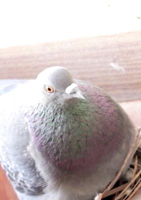 pigeonhood.jpg