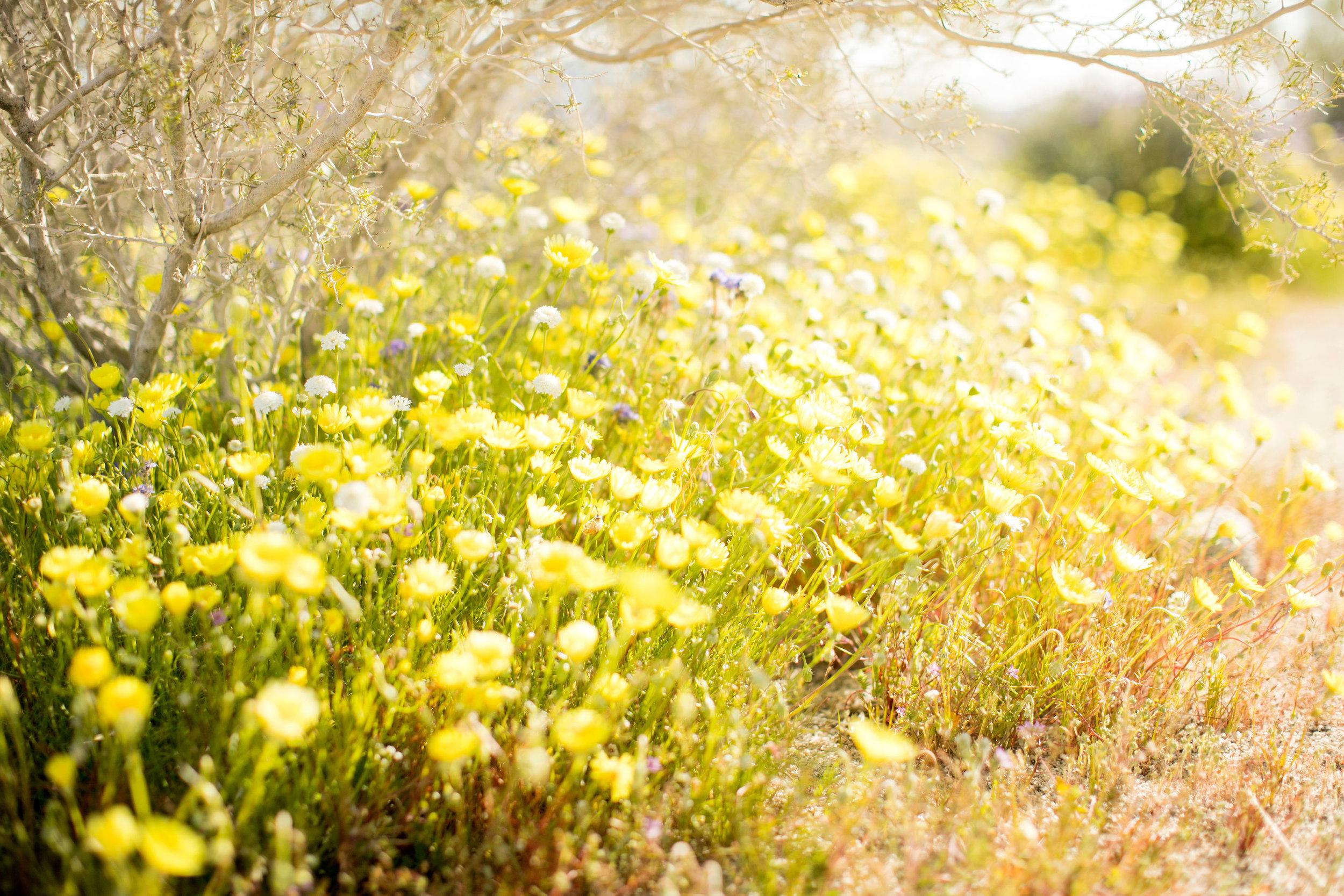 Wildflowers in Super Bloom 2019