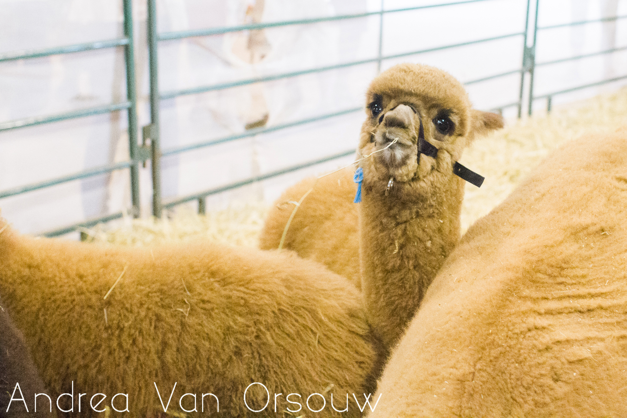 baby_llama_eating.jpg
