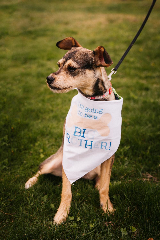 birth-announcement-dog-big-brother-cute-birth-announcement-idea-rhode-island-massachusetts-wedding-photographer.jpg