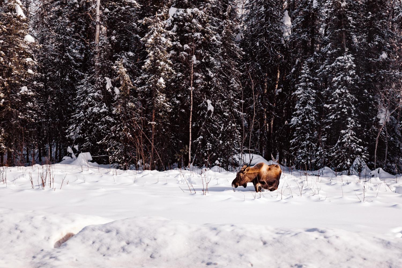 alaska-moose-denali-national-park-fairbanks-anchorage.jpg