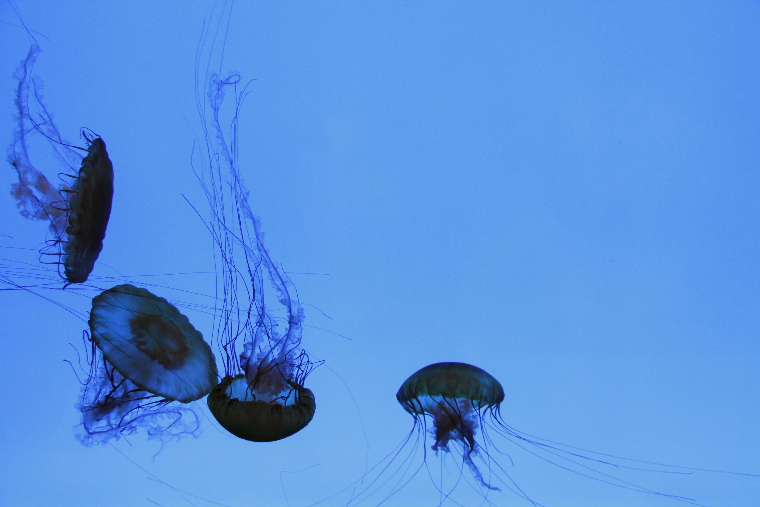 JellyfishBoston.JPG