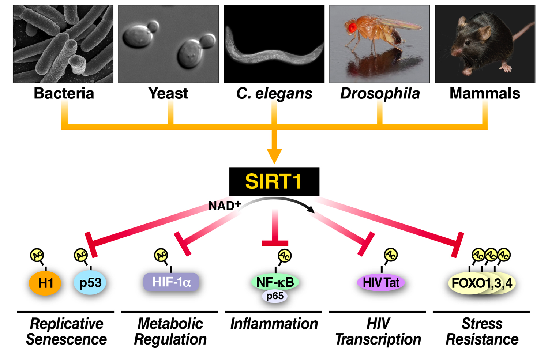 SIRT1 Model