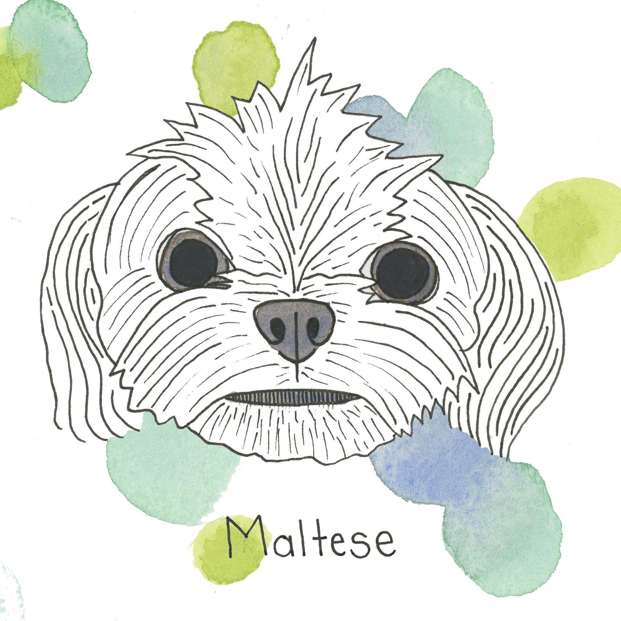 Maltese.jpg
