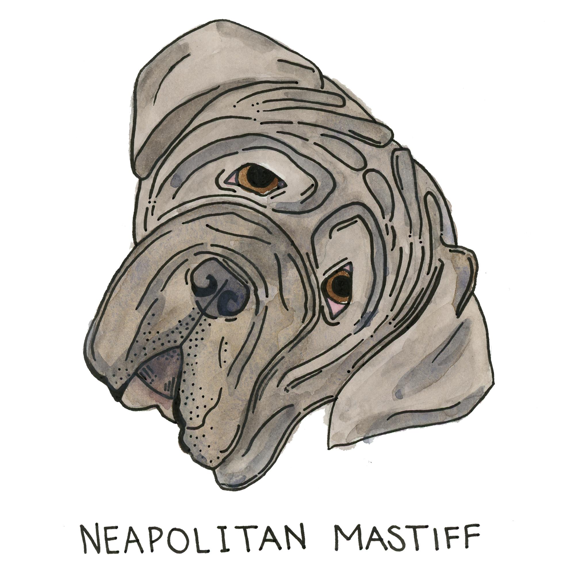 Neopolitan-Mastiff099.jpg