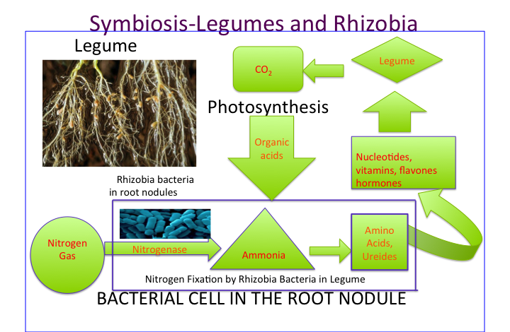Symbiosis_in_Root_Nodules.png