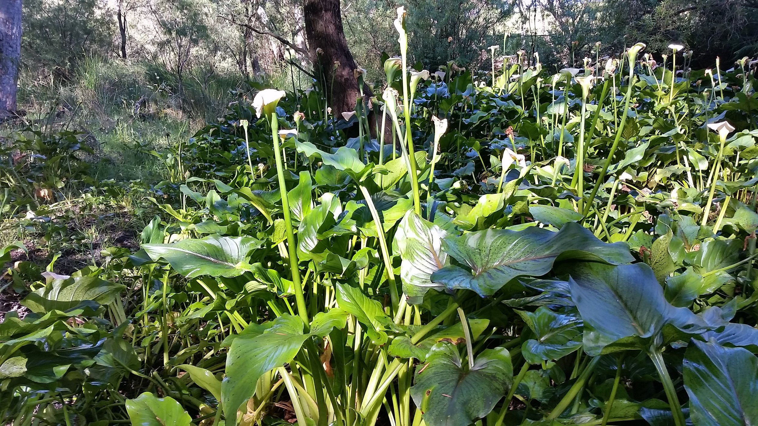Arum Lily 2.jpg