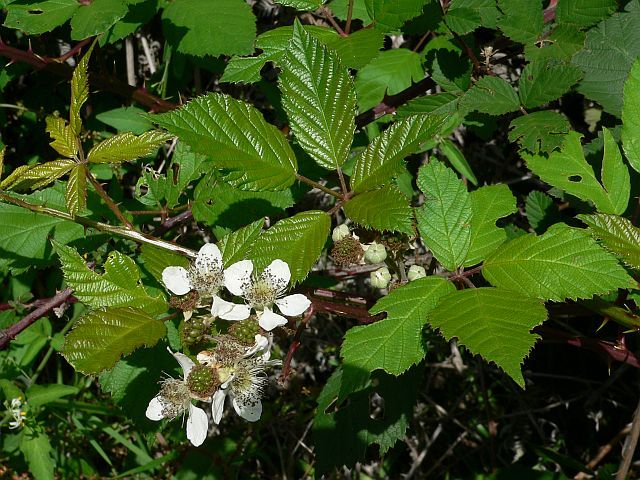 Rubus_fruticosus_blackberry flowers.jpg