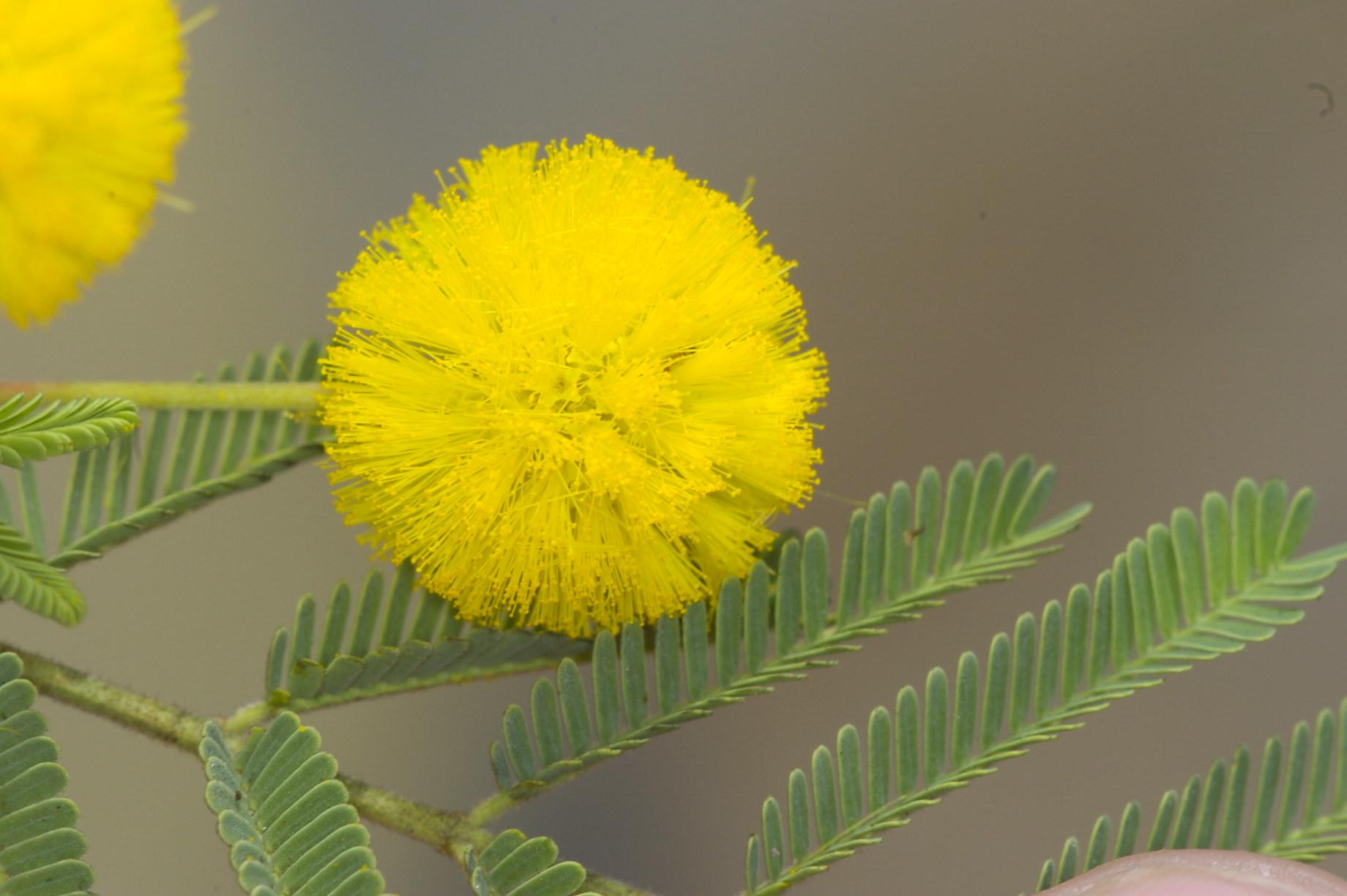 declared pest weedy wattle - acacia nilotica.JPG