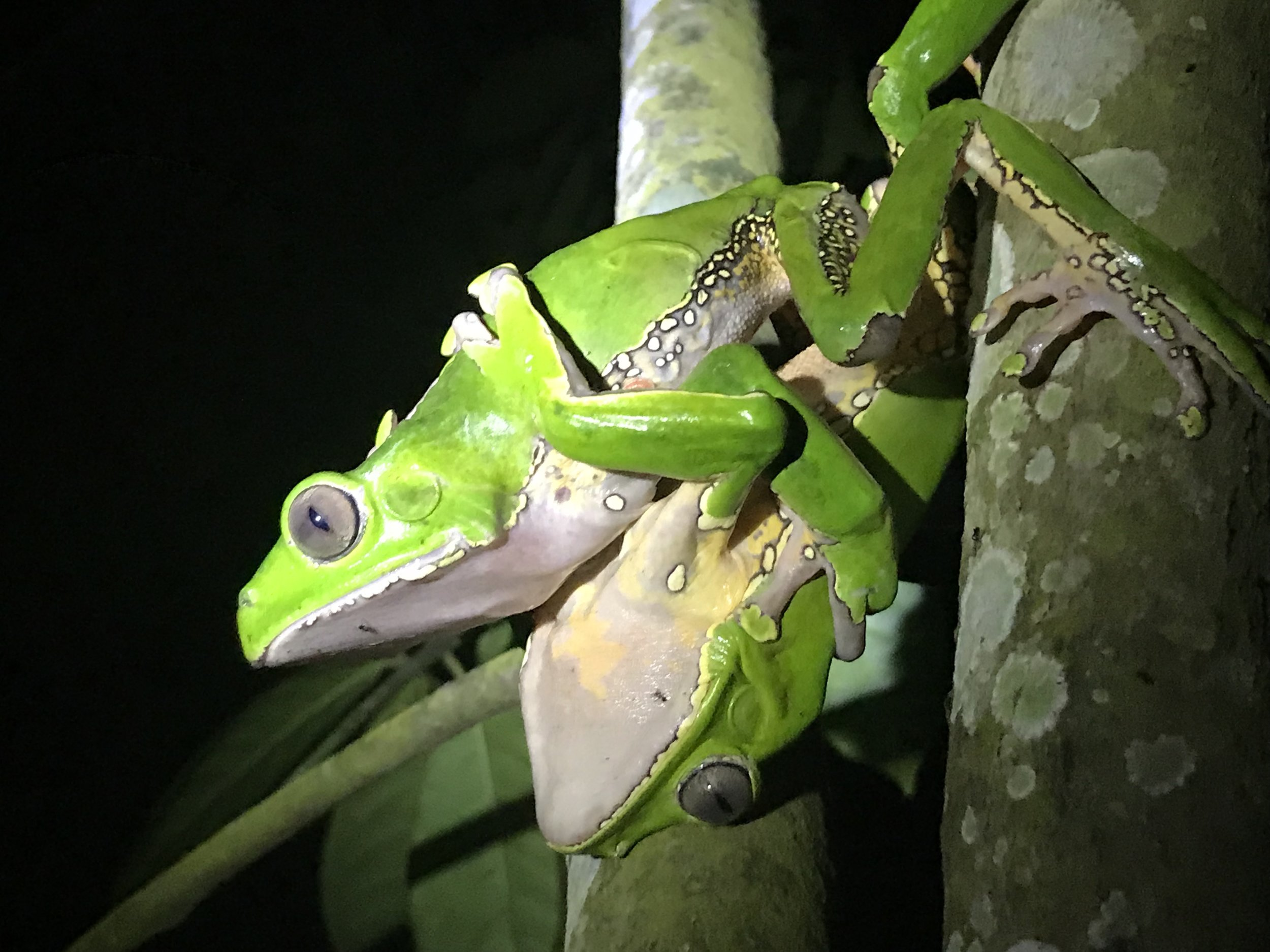 """What is Kambo? - Phyllomedusa Bicolor, otherwise known as """"Kambo"""" is a natural vaccine derived from the waxy secretion on the skin of the green tree frog that lives in northwestern parts of the Amazon jungle and is used traditionally by the indigenous tribes of Colombia, Brazil, and Peru as a medicine and spiritual aide."""