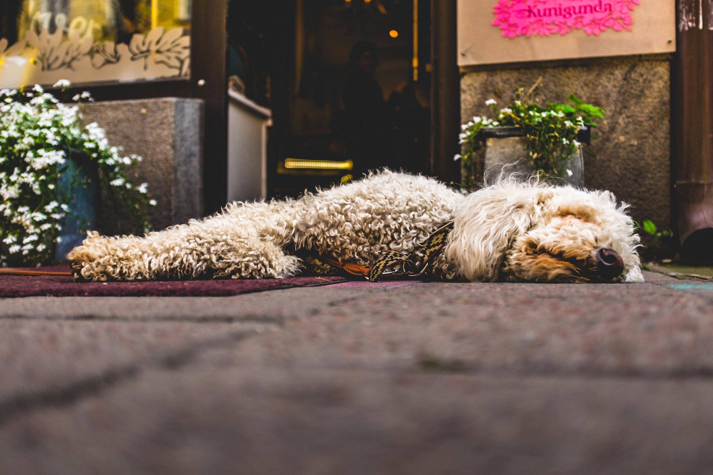 Dog (resting), Stockholm, Sweden