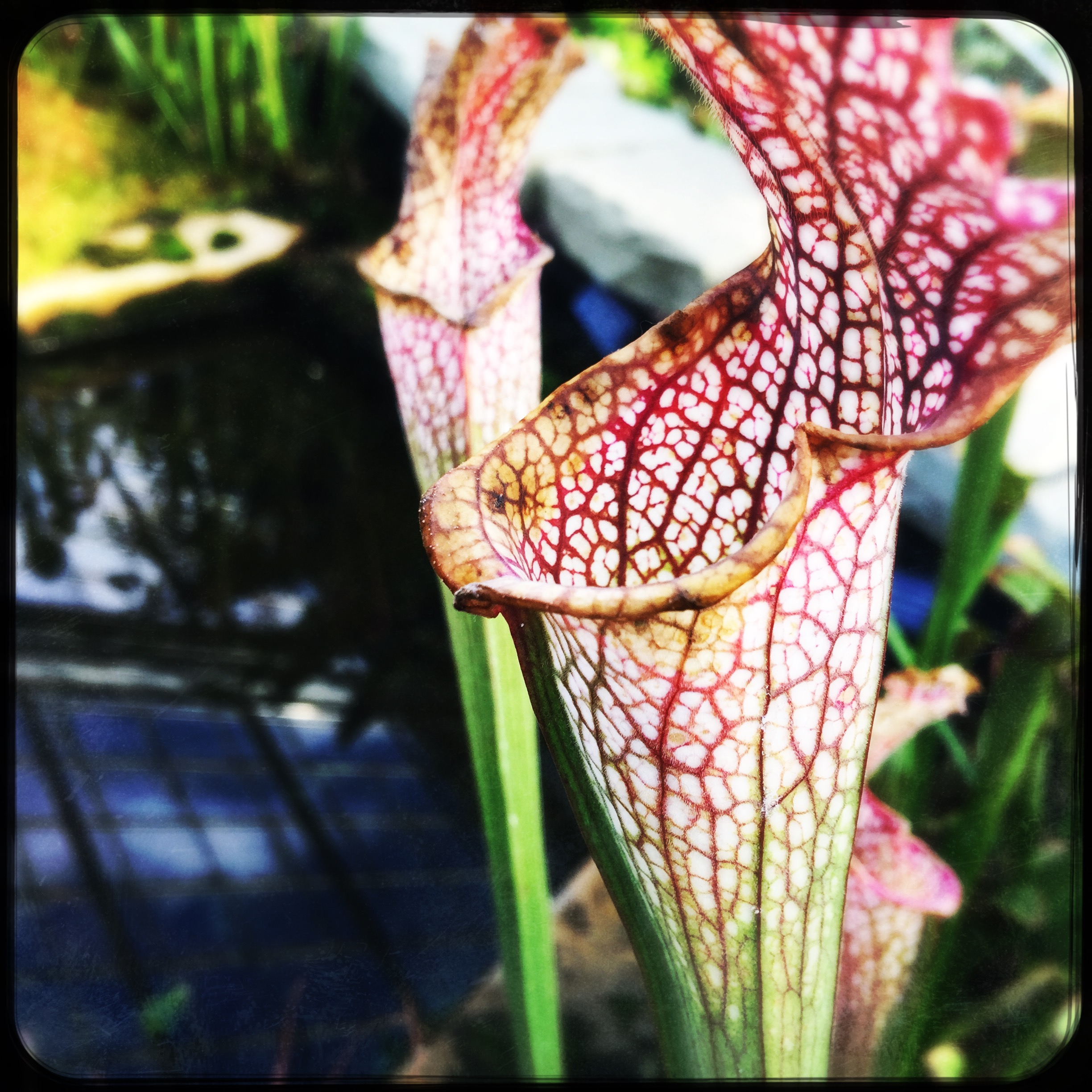 pitcher plants.jpg