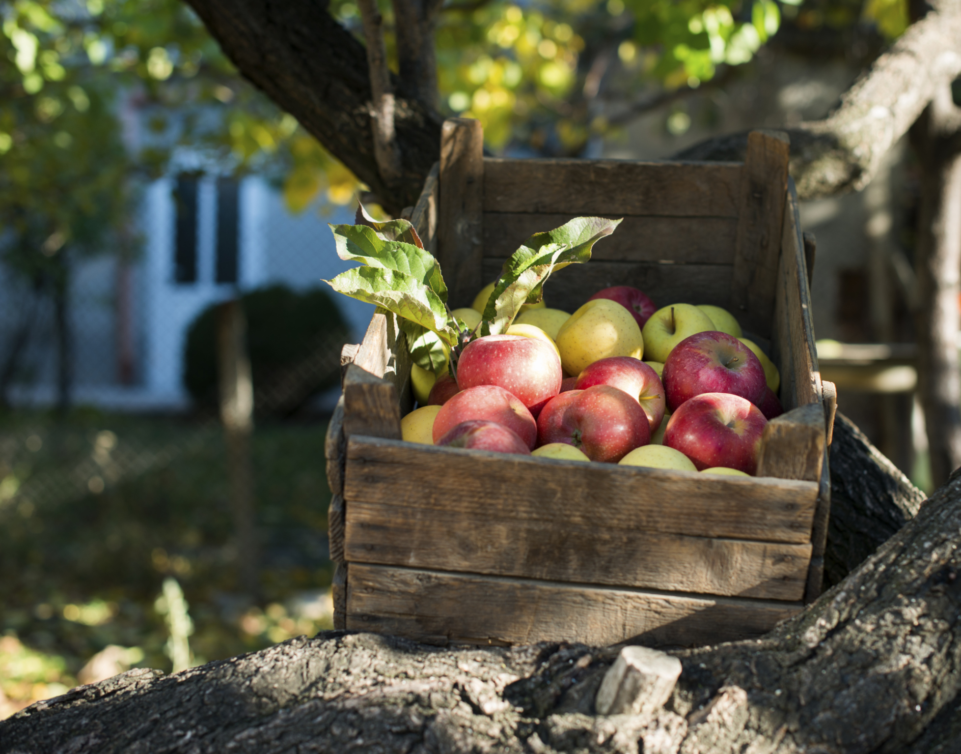 Søndag 20.september arrangeres det Eplefestival på Rove på Kirkeøy fra kl. 12.30 til kl. 16.00. Arrangør er Hvaler Hagelag, som sørger for en innholdsrik utstilling av Hvalers tradisjonelle eplesorter. Og det er ikke få.Ellers fristes man til besøk i eplekafeen og til å kjøpe råpresset eplesaft. Lokale håndverkere og produsenter tilbyr kreative produkter, grønnsaker og ulike typer syltetøy.