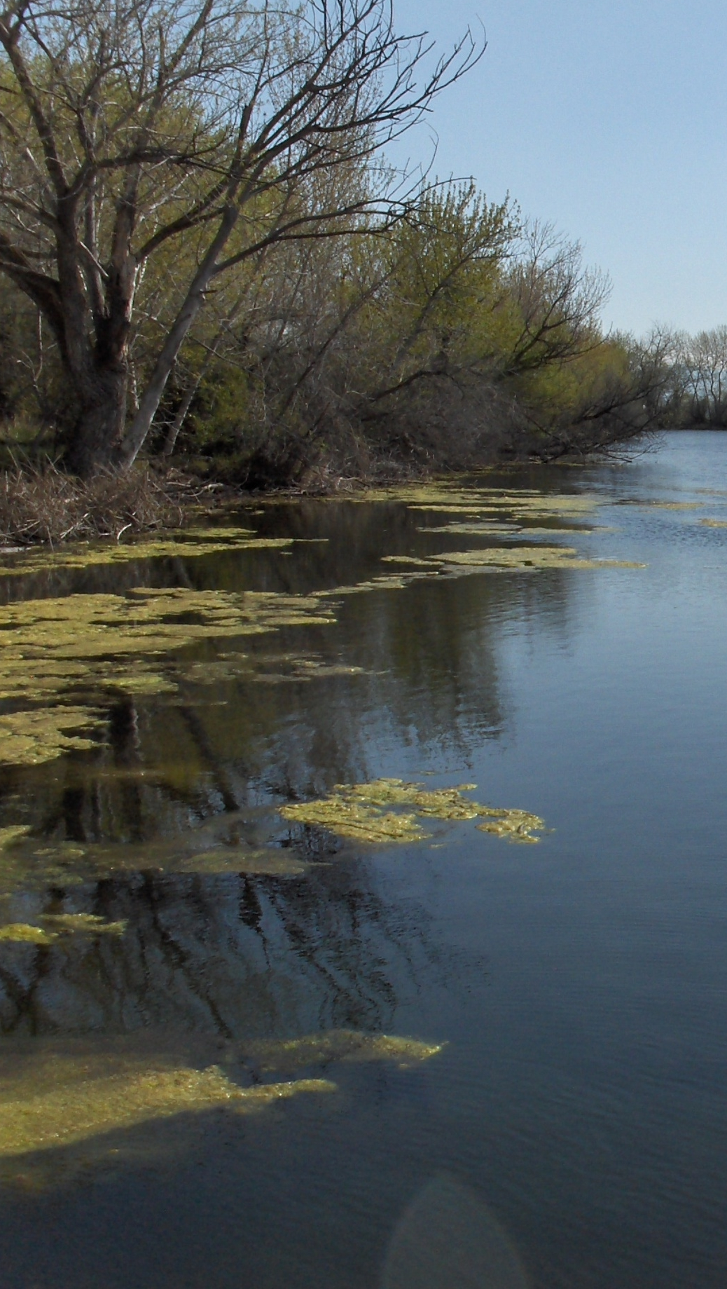Nutrient pollution on the Boise River causes algae blooms like the one pictured above.