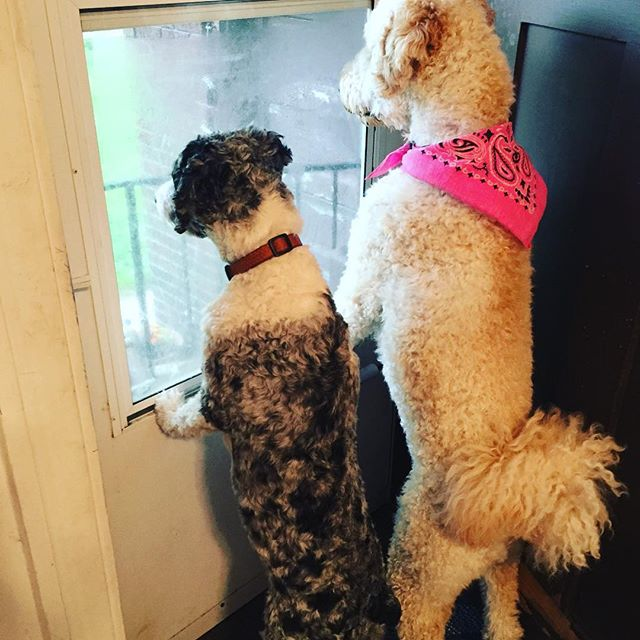 "This is what would happen every time #harlowthedoodle went outside. What you don't hear is #lainiethedoodle bawling as she's watching. And #olivethedoodle just looks at her like, ""Can I jump on your back to get a better look?"". #cutestthingever @harlowandolive @alexanderjkanastab @helena.kathleen #lainiethedoodle #LainiesLife"
