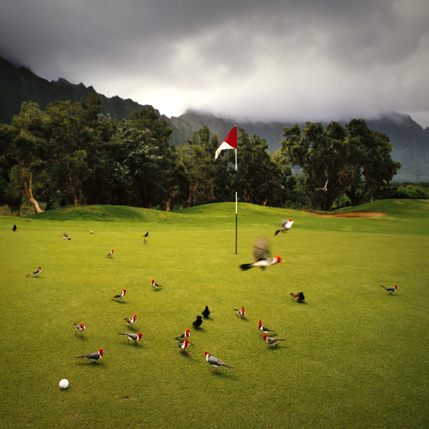 KN 30. LOST BALLS - Brazilian Cardinals. Birds on 9th Green. Hawaii.jpg