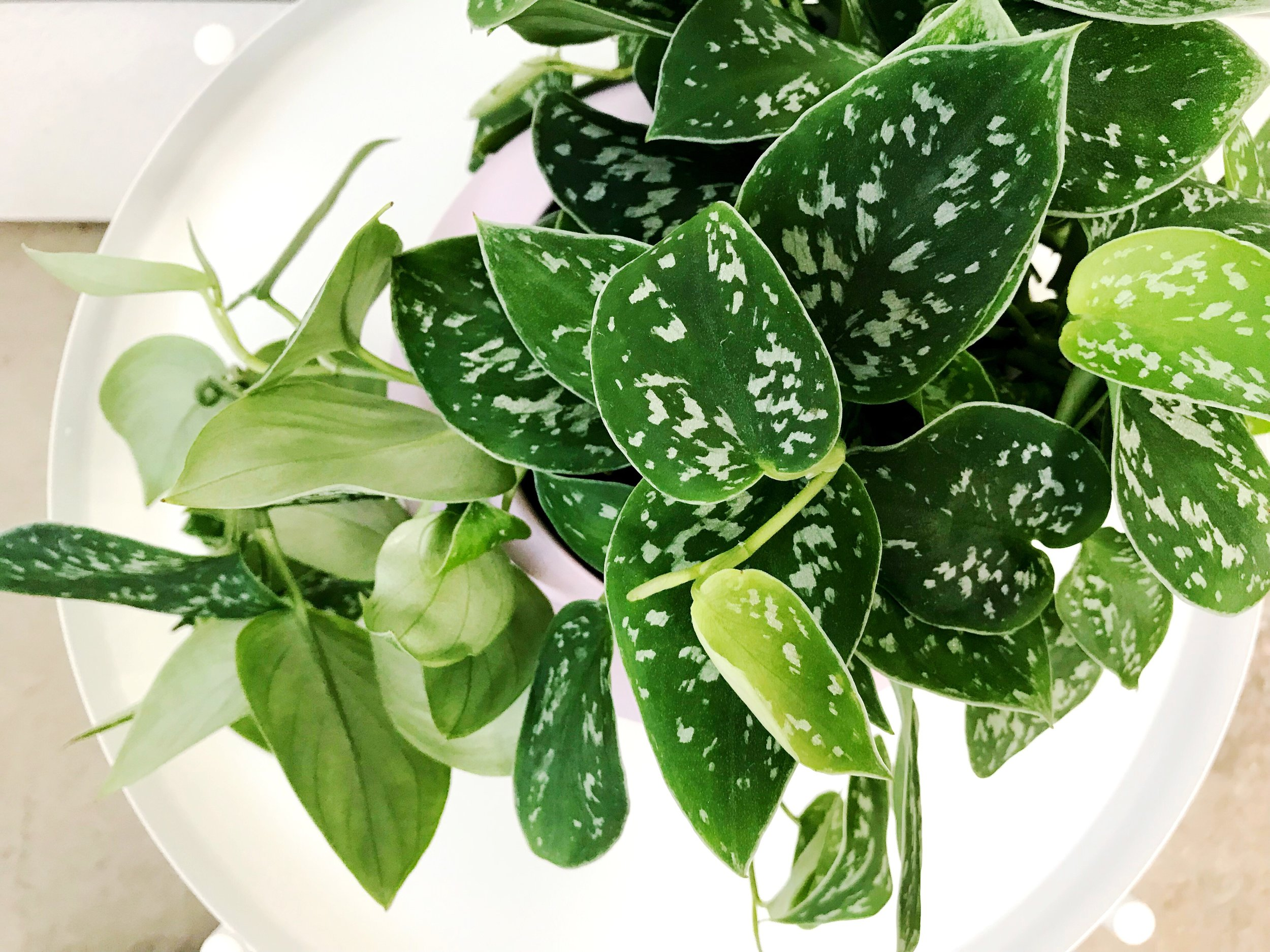 The Paper + Craft Pantry Blog Round Up Silver Pothos