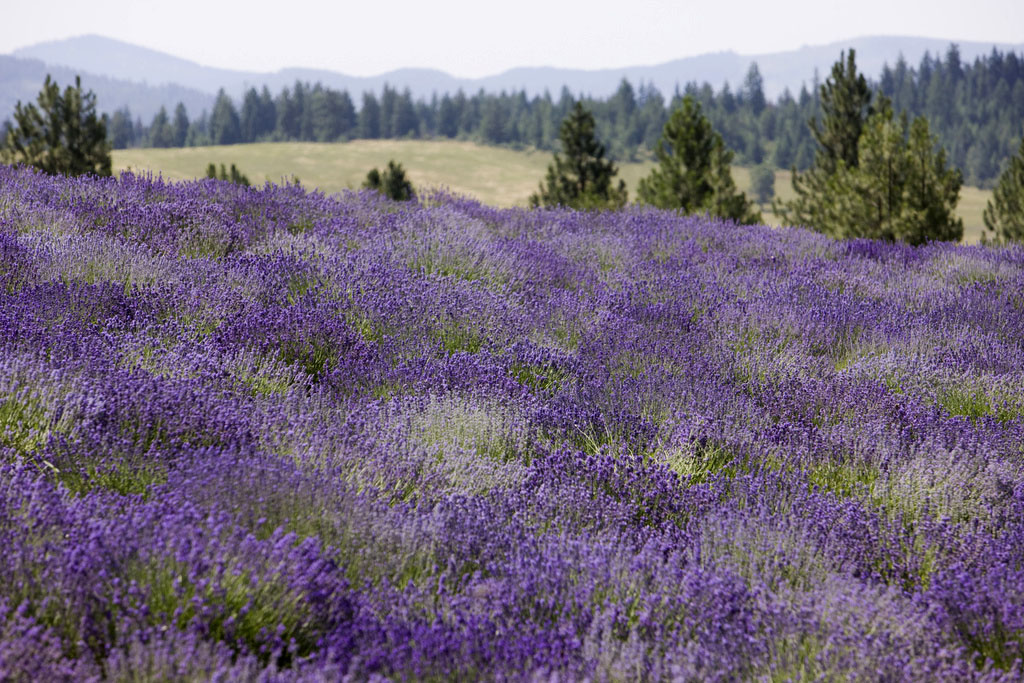 Young Living Lavendar Farms, St. Maries, Idaho. Compliments of Young Living Oil Essentials