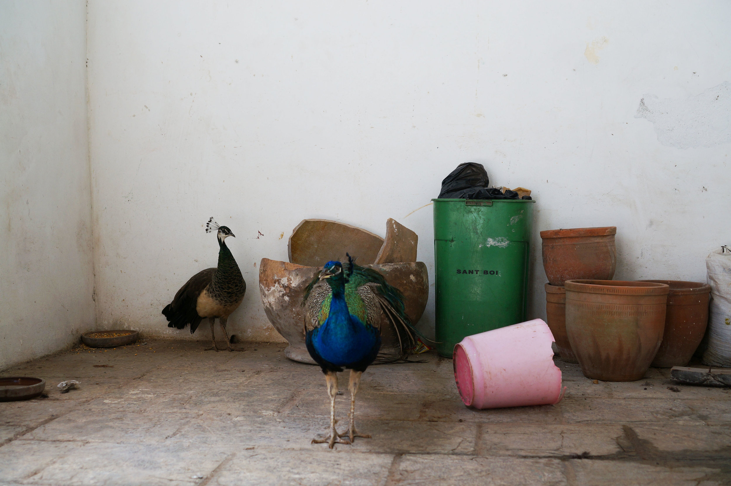 Peacocks in the Casa de los Árabes