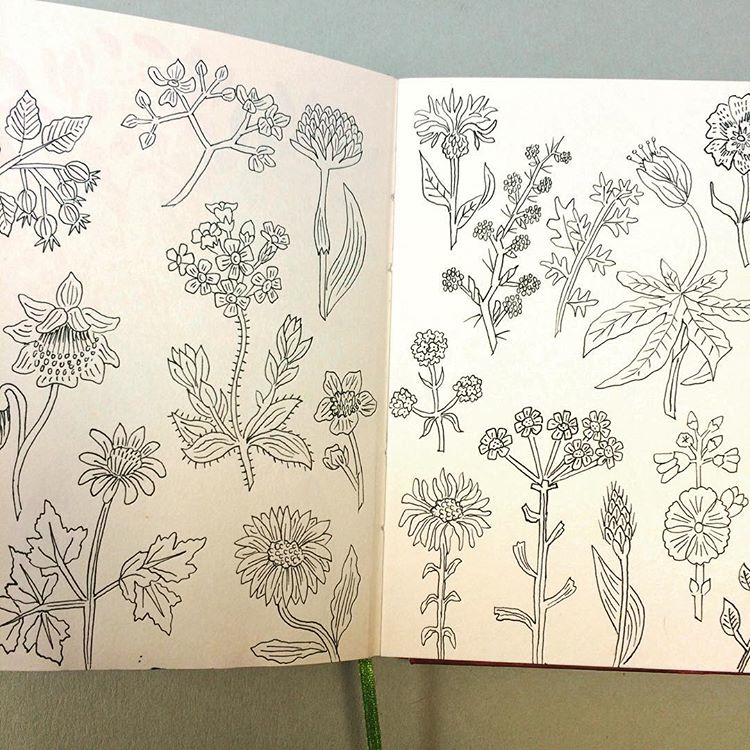 Sketching from a 1950's wildflower book