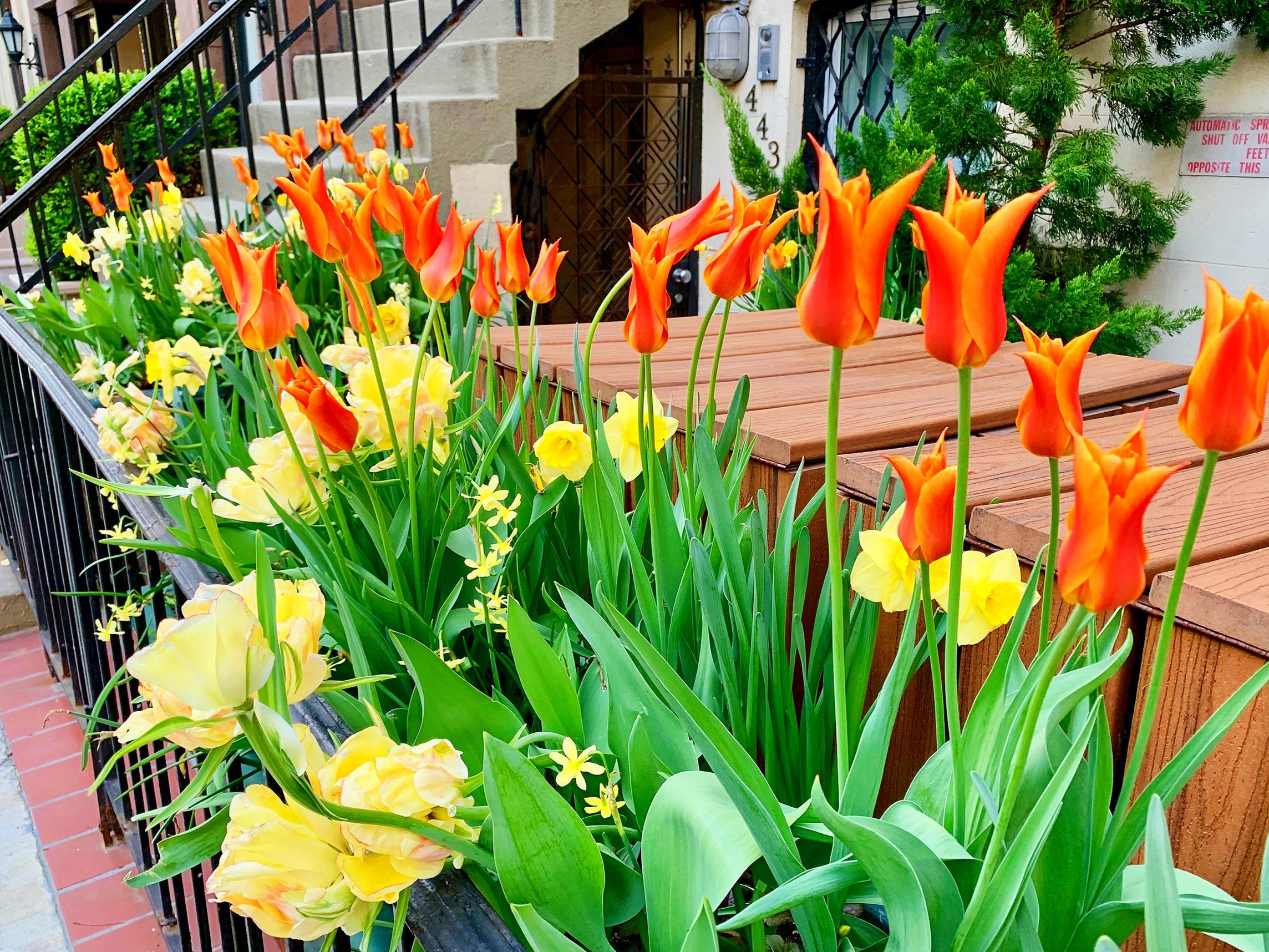 Tulips blooming on West 43rd St. -- a sure sign that spring is here!