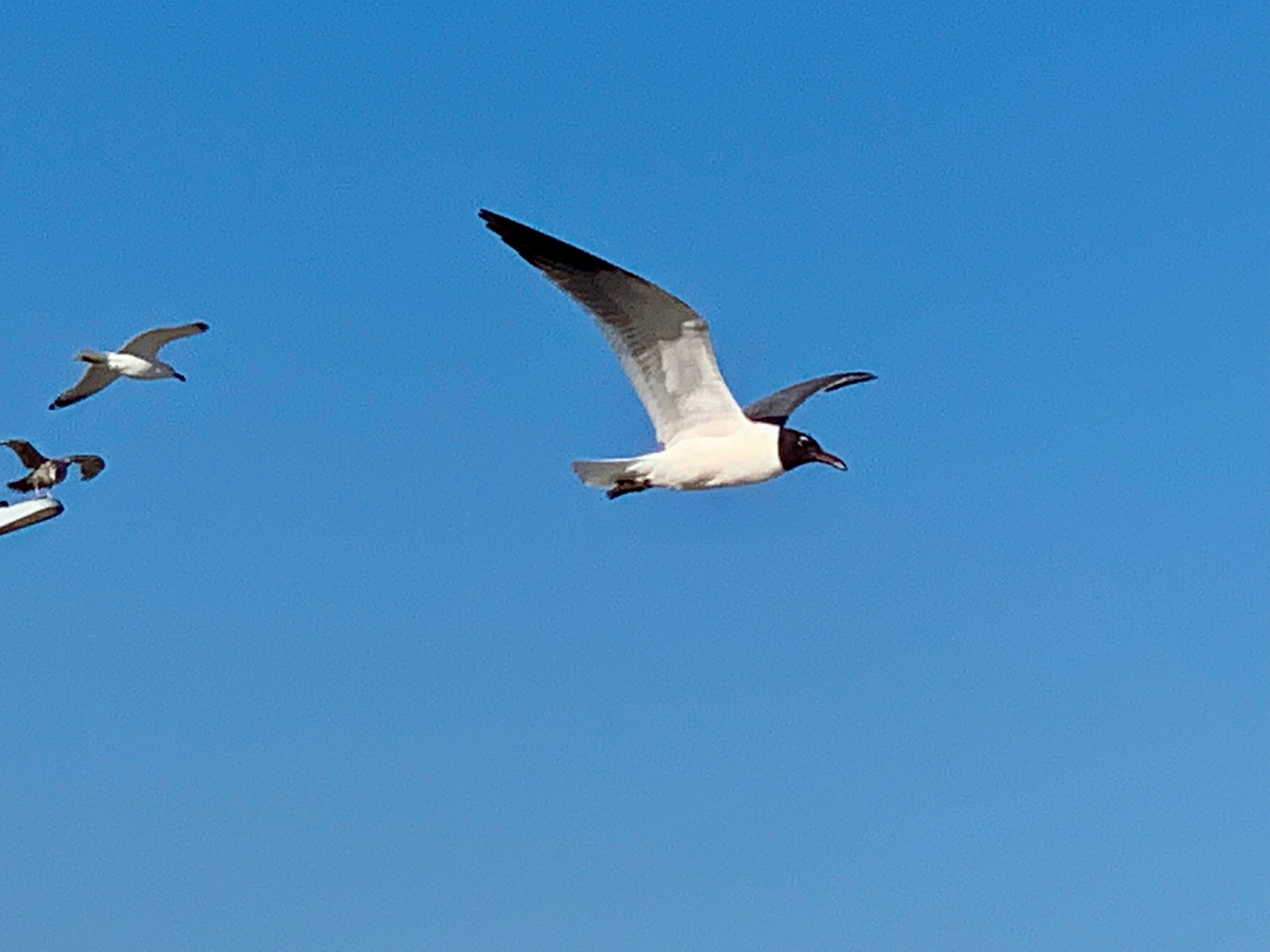 The Laughing Gulls and other migratory birds are back for summer in the Rockaways! They bring joy and a wonderful balance to our life in NYC.