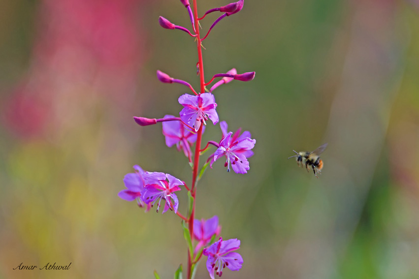 Fireweed and Bumble Bee