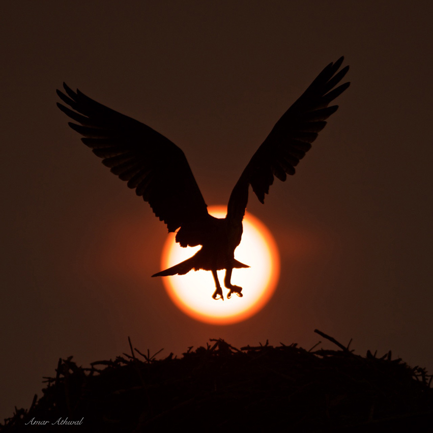 Osprey and the Sun