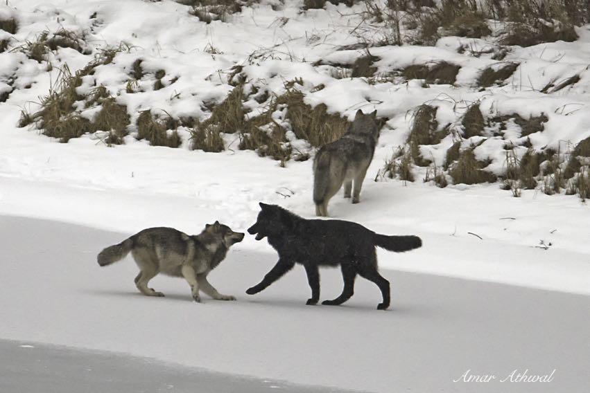 Gray Wolves