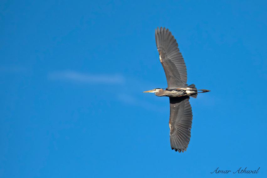 Great Blue Heron 160615f Amar Athwal.jpg