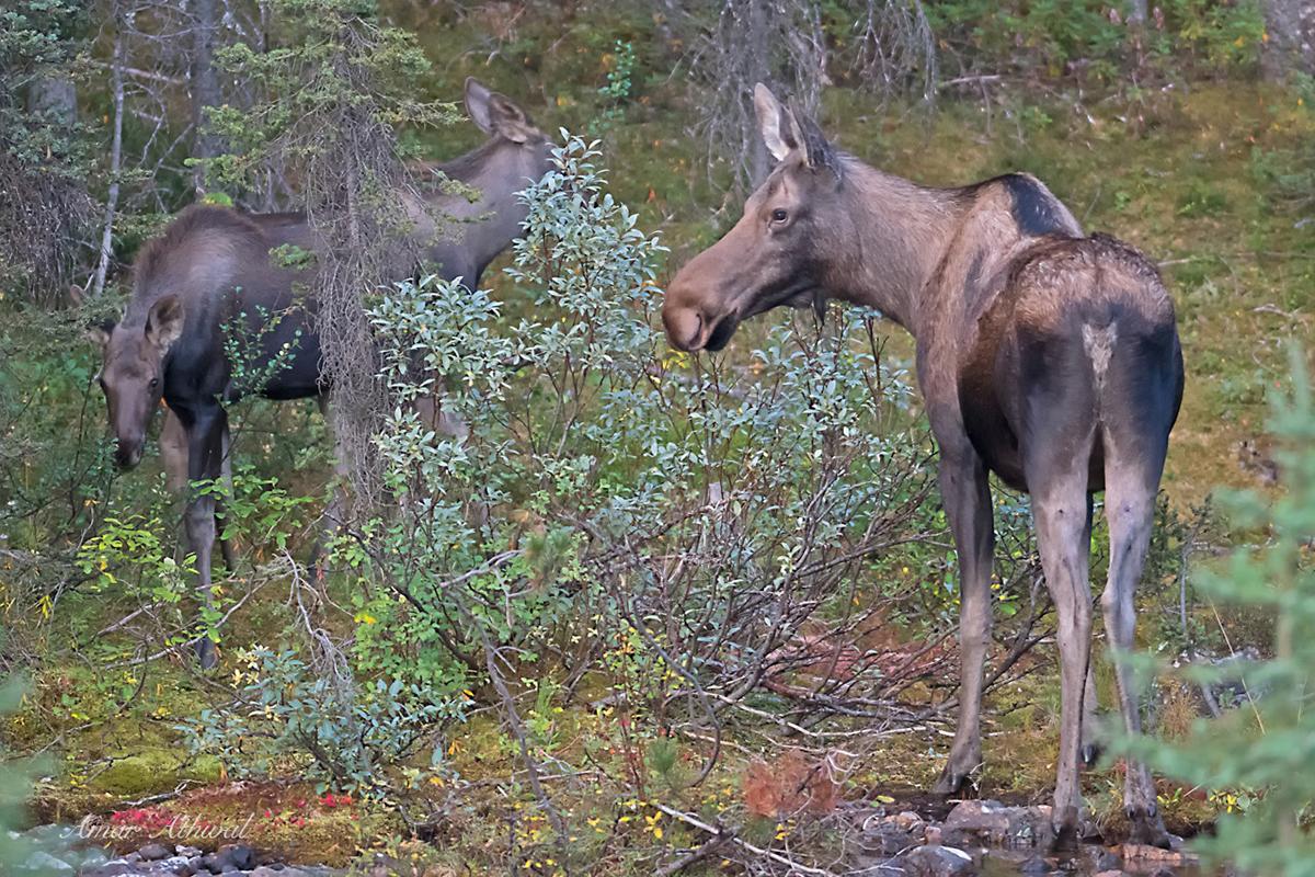 Moose 171013 Amar Athwal.jpg