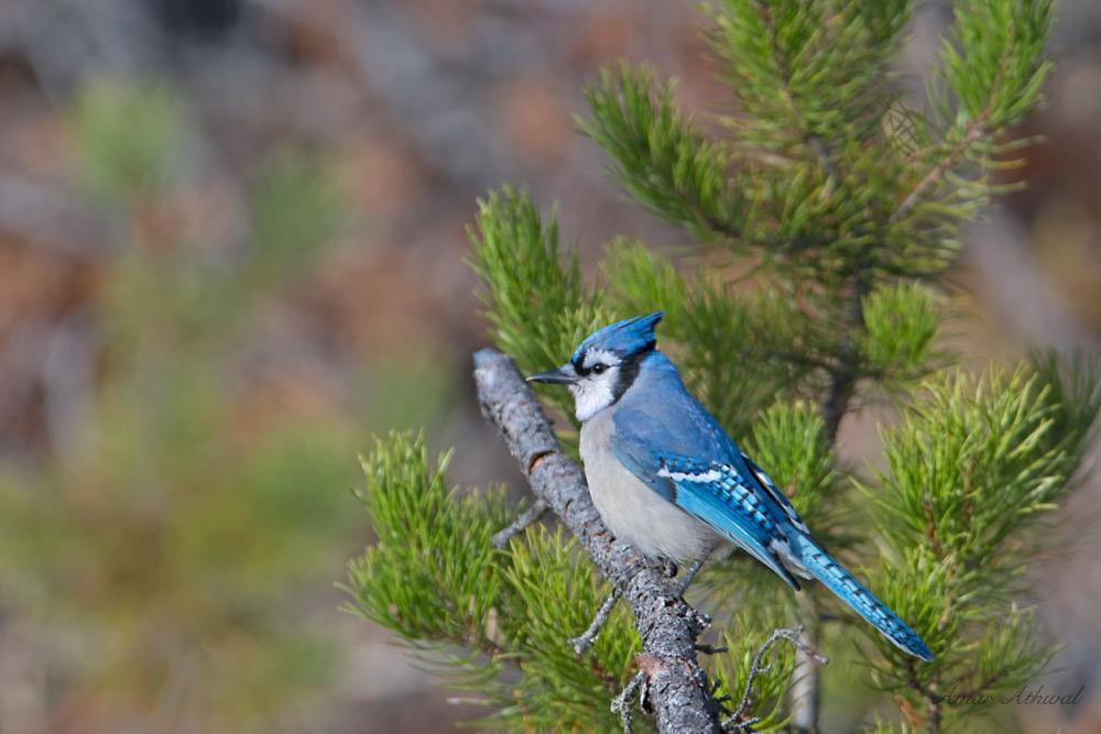 Blue Jay 171031f Amar Athwal.jpg