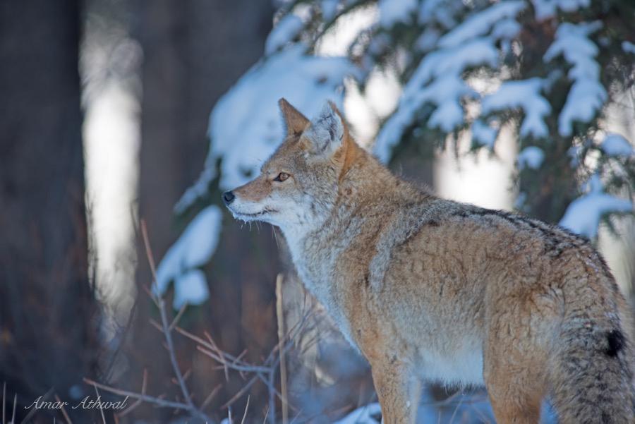 Coyote 171122 Amar Athwal.jpg