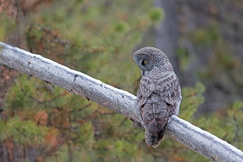 Great Gray Owl 180105f Amar Athwal.jpg