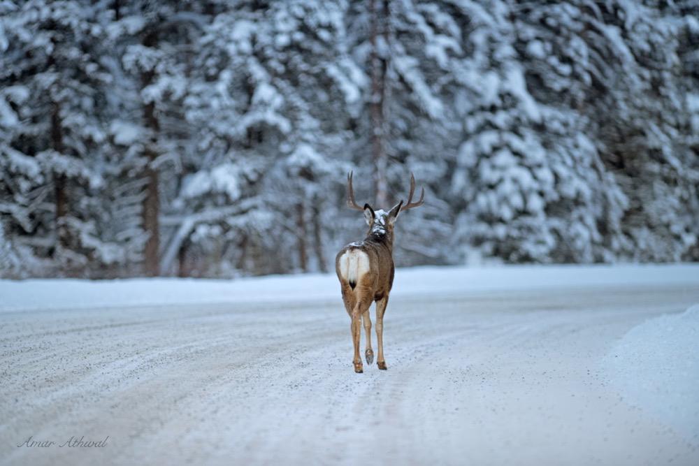 Mule Deer 180107f Amar Athwal.jpg