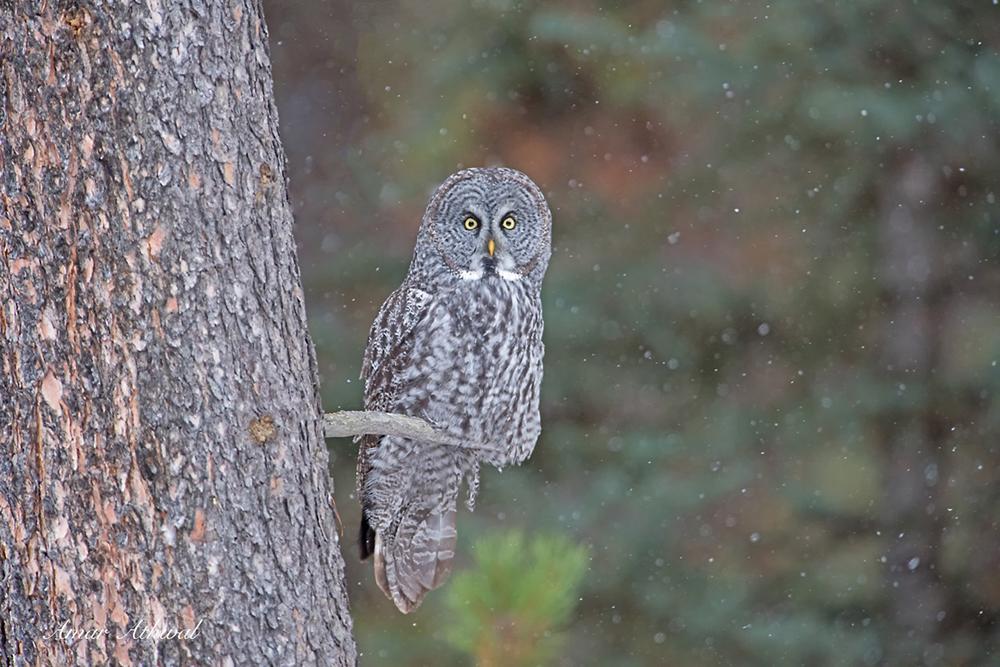 Great Gray Owl 180209f Amar Athwal.jpg