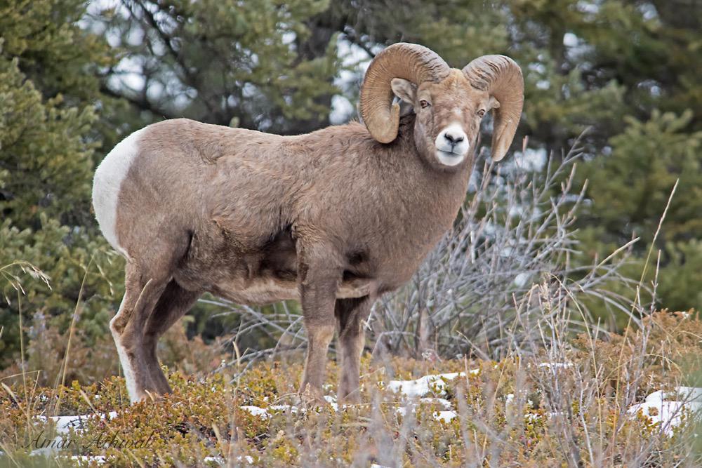 Bighorn Sheep 180404 Amar Athwal.jpg