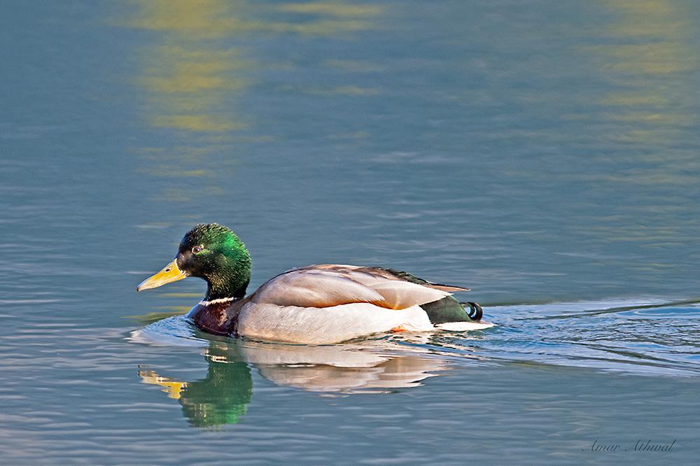 Mallard Duck 180523 Amar Athwal.jpg
