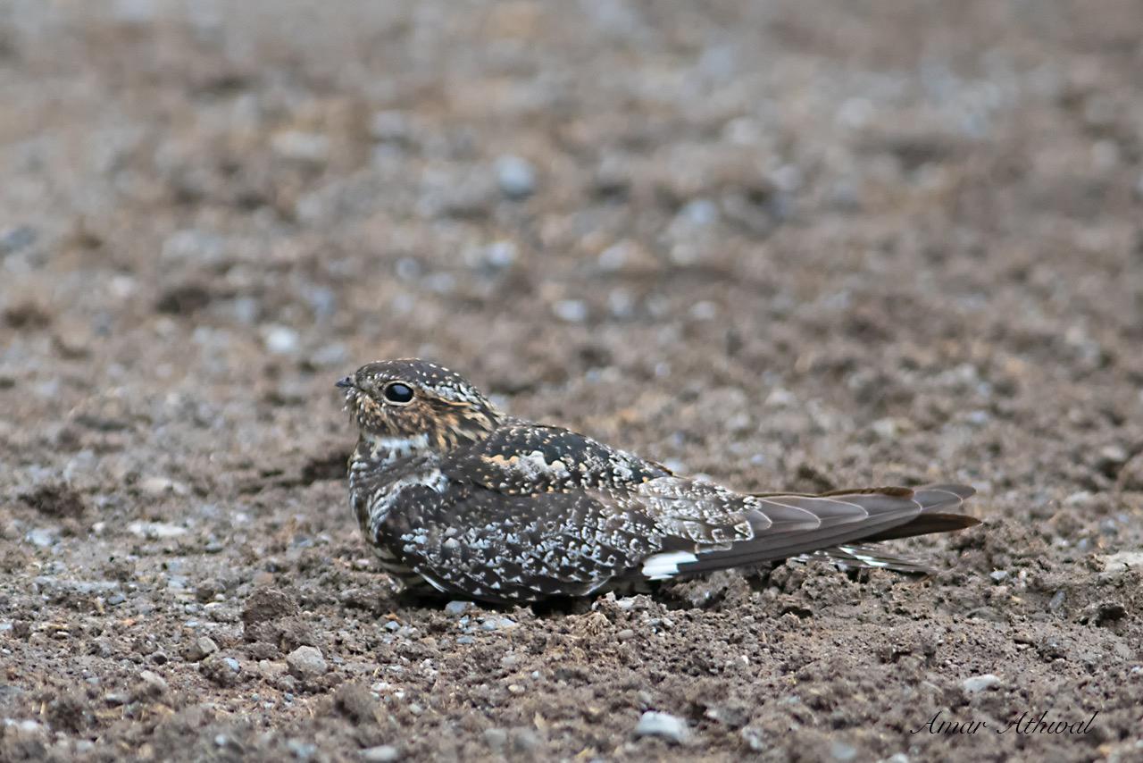 Common Nighthawk 180601 Amar Athwal.jpg