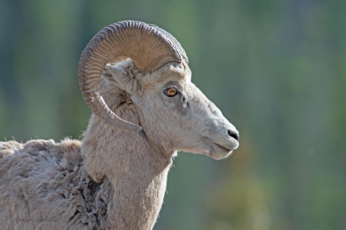 Bighorn Sheep 180604 Amar Athwal.jpg