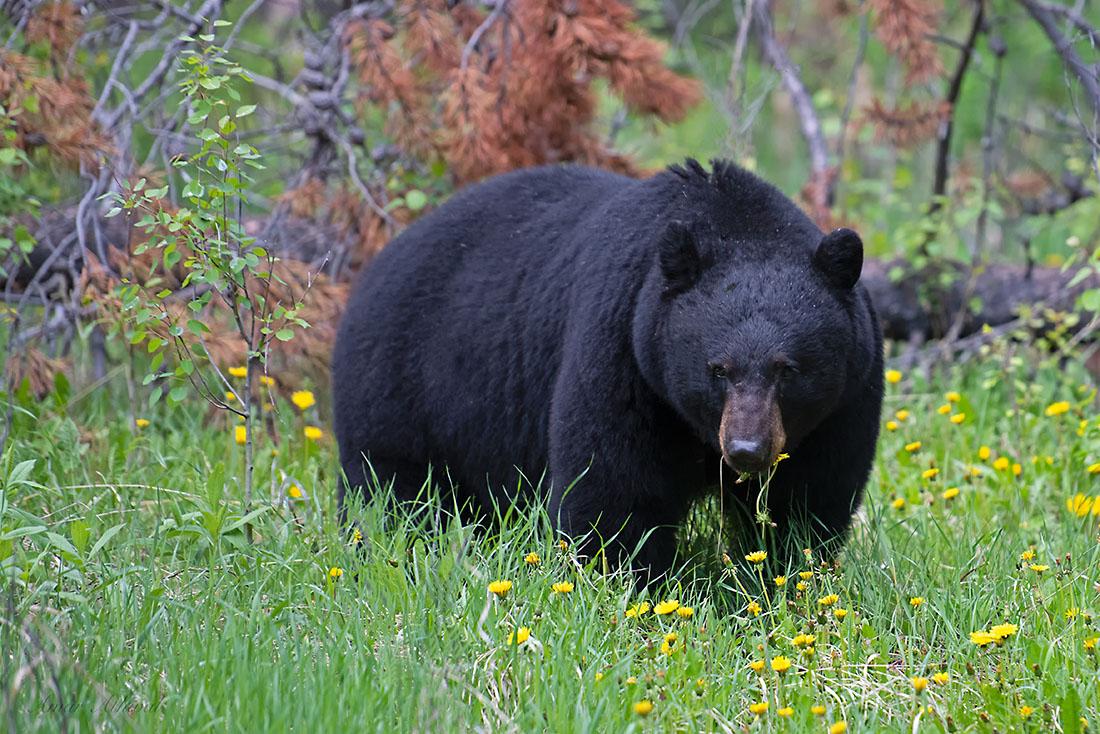 Black Bear 180612 Amar Athwal.jpg