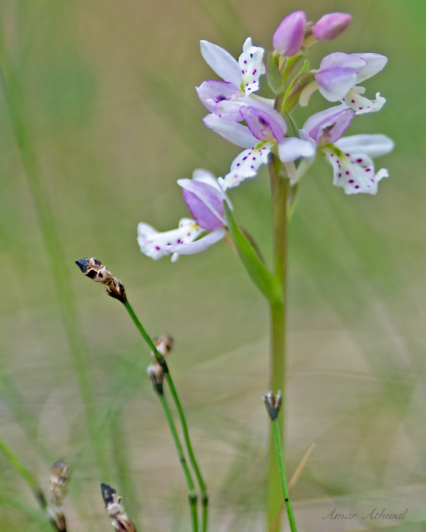 Round Leaved Orchid 180704 Amar Athwal.jpg