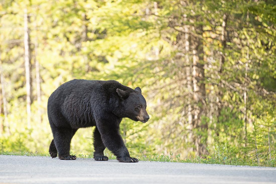 Black Bear 180718 Amar Athwal.jpg