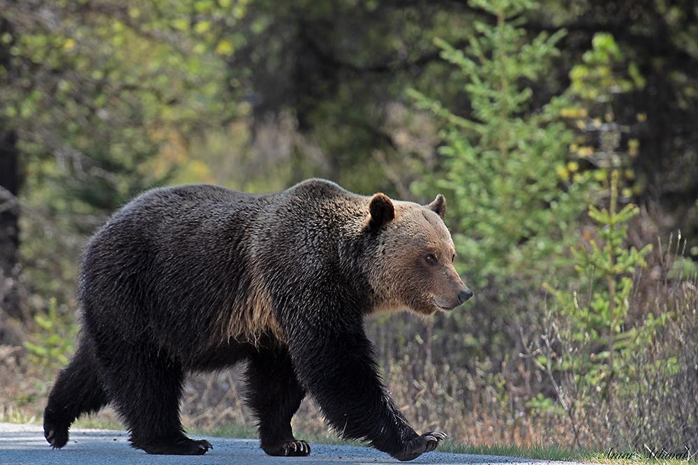 Grizzly 180722 Amar Athwal.jpg