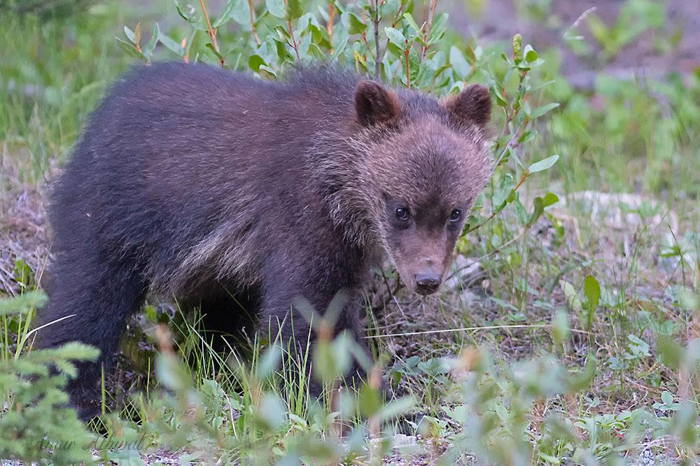 Grizzly 180807 Amar Athwal.jpg