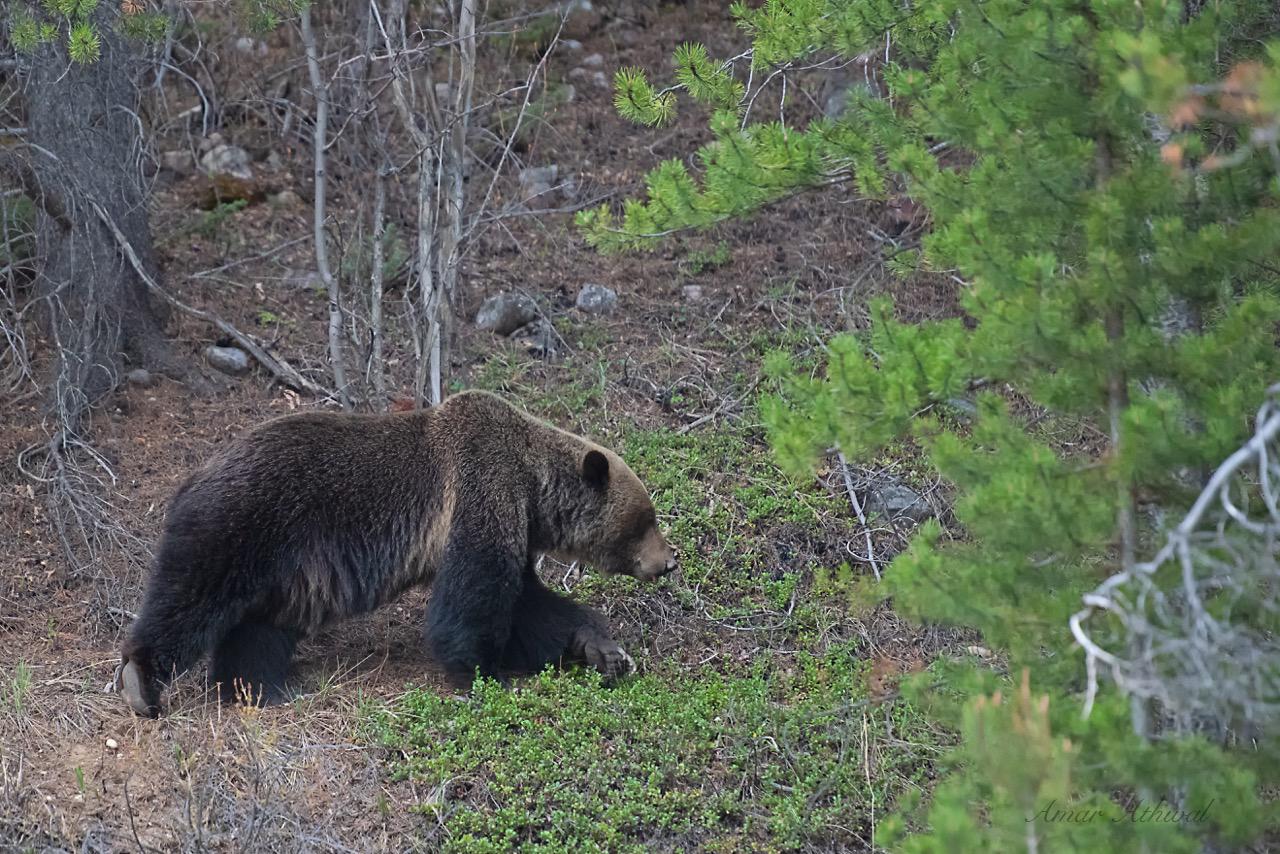 Grizzly 180822 Amar Athwal.jpg